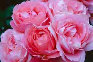 pink roses, optimized for web at low quality
